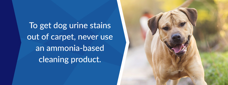 Never us an ammonia-based cleaning product to get dog urine stains out of carpet.